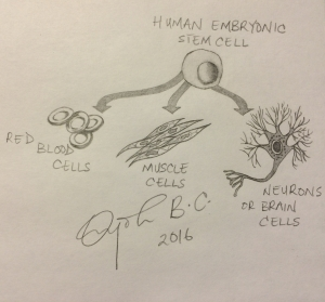 Under the right conditions, human embryonic stem cells have the innate power to assume the characteristics of any cell type found in the human body.