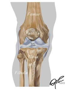 Knee support is provided by the bones.