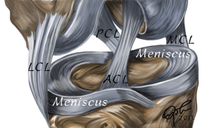 The meniscus of the knee provided support and cushioning for the bones of the knee joint.