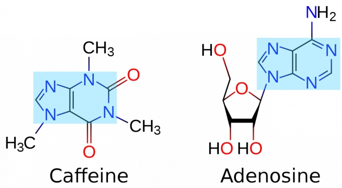 """The structures of Caffeine and Adenosine. Notice how similar their central ring structures (highlighted in light blue) are. This similarity is why Caffeine can trick the receptors on the neurons into """"thinking"""" that it is adenosine."""